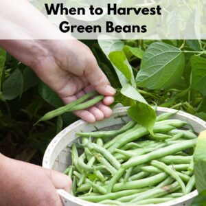 """text overlay """"when to harvest green beans"""" above an image of a person picking green beans into a bucket"""