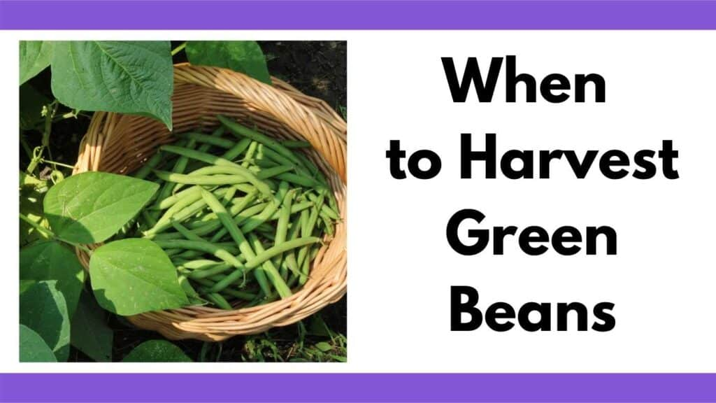 """Text """"when to harvest green beans"""" next to a picture of a woven basket with green beans"""