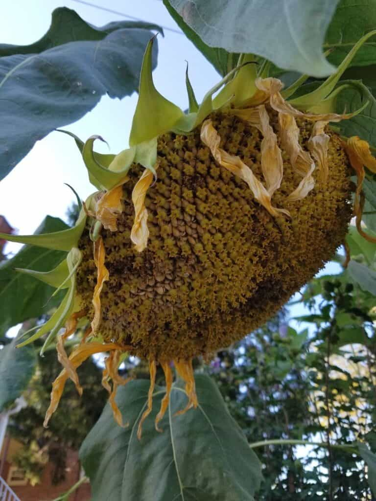 A drooping sunflower head with wilting petals and a yellowing back.