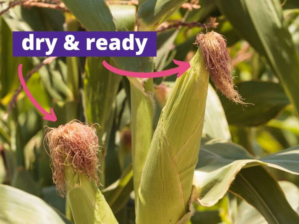 """A close up picture of two ears of ripe corn with a caption """"dry and ready"""" and an arrows pointing at the silks"""