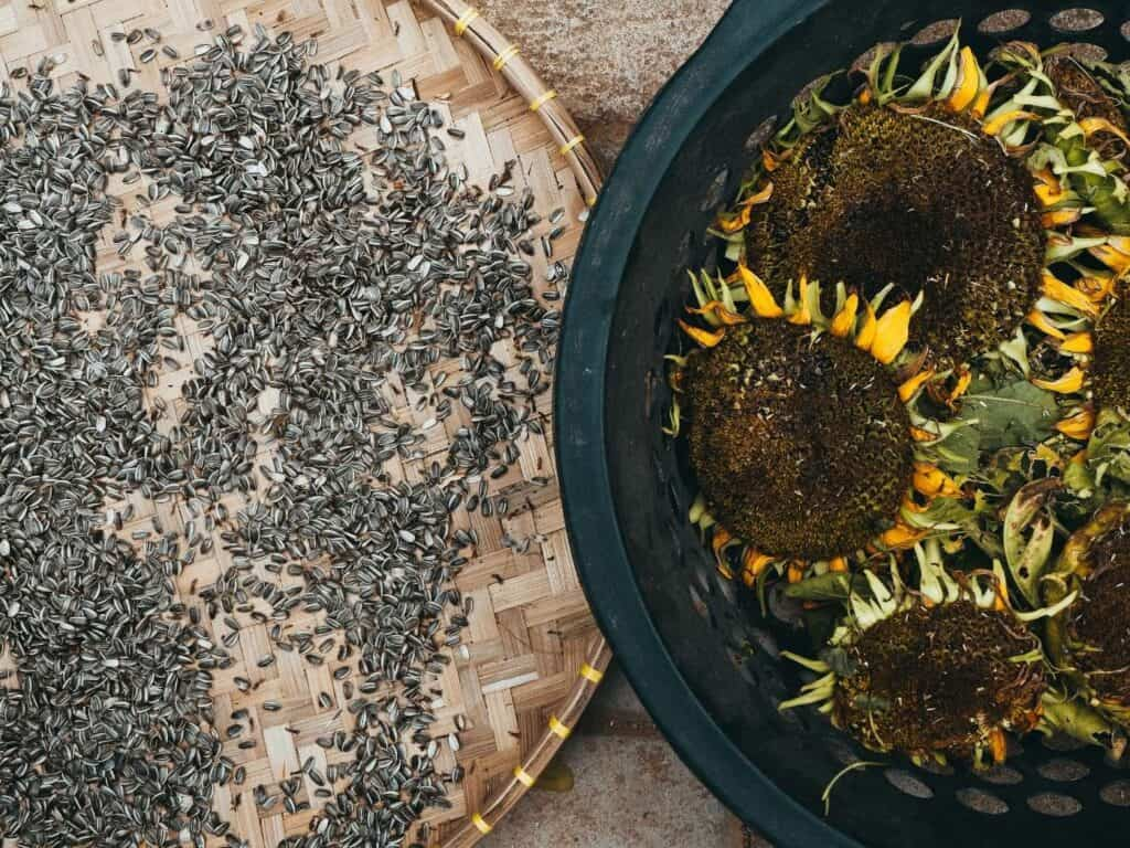 On the left is a flat woven basket with sunflower seeds and on the right is a black plastic basket with dry sunflower heads