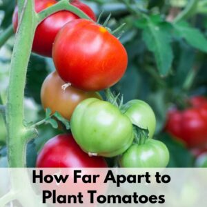 """Text overlay """"how far apart to plant tomatoes"""" on the bottom of a close up image of a cluster of tomatoes on the vine. Half the tomatoes are ripe, the other half are green and glossy."""