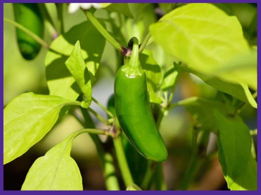 A not-quite ripe green jalapeño pepper growing on a bush
