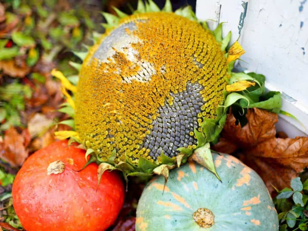 An image of a harvested sunflower sitting on top of two gourds on the ground