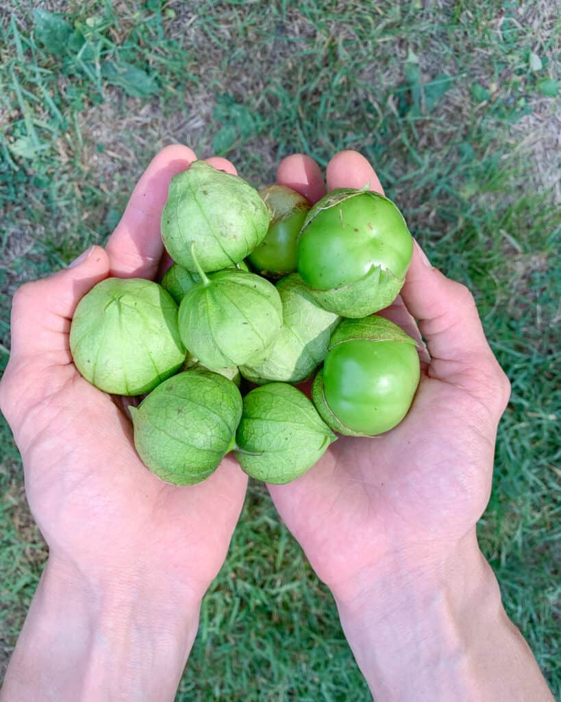 A close up of two hands holding picked green tomatillos