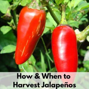 """text overlay """"how and when to harvest jalapenos"""" on top of a picture of two red jalapeno peppers"""