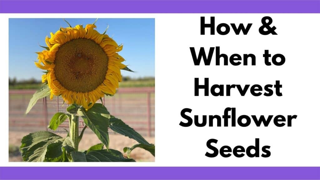 """Text """"how and when to harvest sunflower seeds"""" next to an image of a mammoth sunflower in bloom."""
