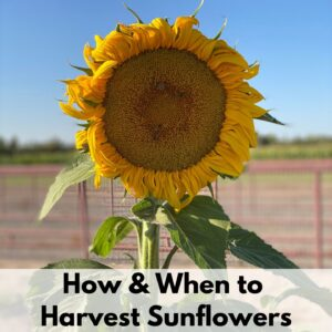 """Text overlay """"How & when to harvest sunflowers"""" over an image of a blooming mammoth sunflower"""