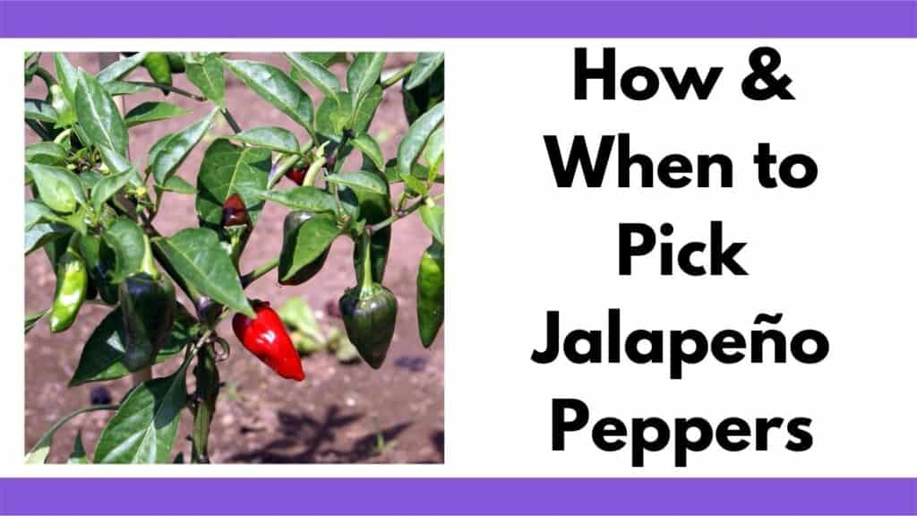 """Text """"How & when to pick jalapeño peppers"""" next to an image of jalapeño peppers growing on a bush"""