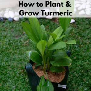 """Text overlay """"how to plant and grow turmeric"""" over a turmeric plant growing in a dark green grow bag container"""