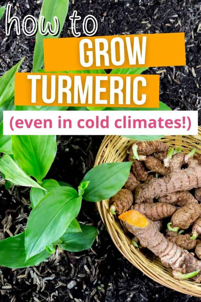 """Text """"how to grow turmeric even in cold climates"""" above an image of turmeric plants and a basket of sprouting turmeric"""
