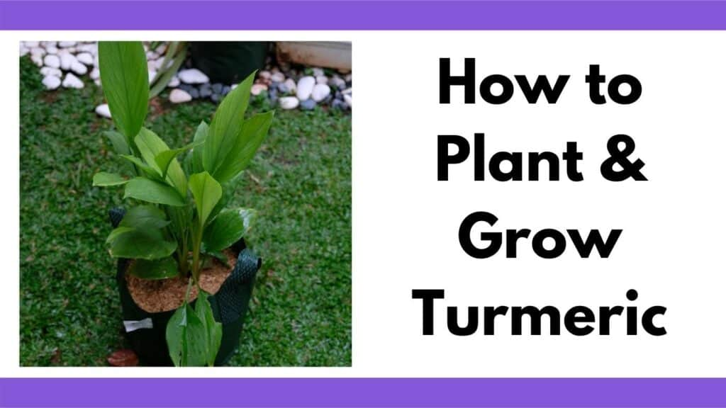 """Text """"How to plant and grow turmeric"""" next to an image of a turmeric plant growing in a fabric grow bag"""