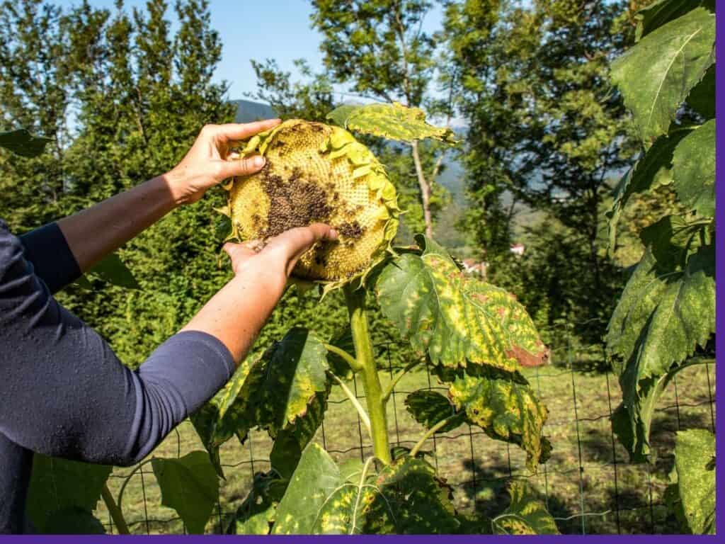 A woman's hands harvesting sunflower seeds directly from a ripe flower