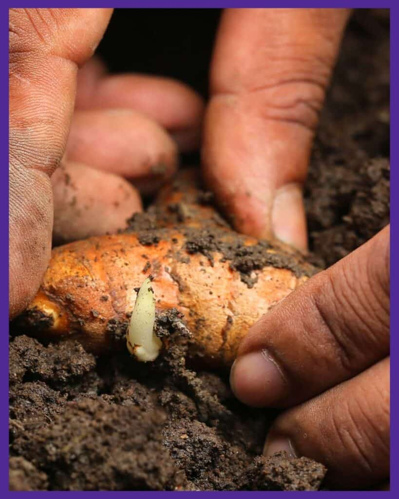 A close up of hands planting a sprouted turmeric rhizome in soil