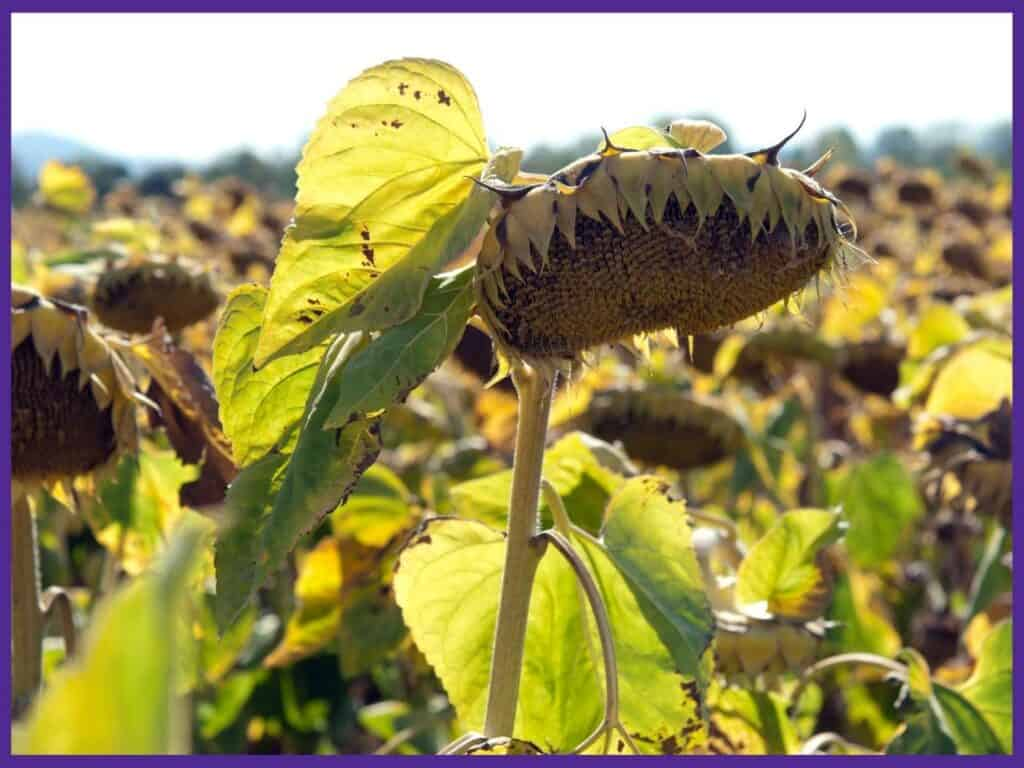 A field of sunflowers that are ready to harvest. The heads are turning yellow and facing downwards. The petals have fallen off.