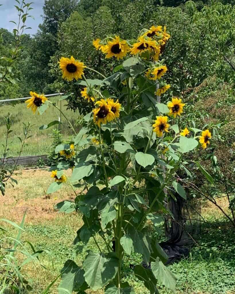 A picture of a blooming sunflower with many flower heads growing in a garden