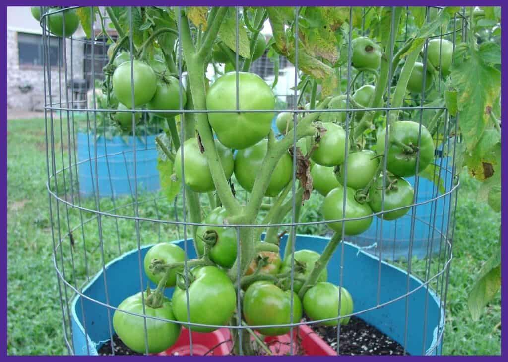 A large tomato plant in a blue plastic drum that's surrounded by wire fencing as a support cage
