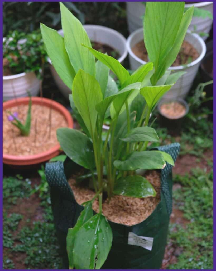 A picture of a turmeric plant Growing in a green grow bag. Several other potted plants are visible in the background, but out of focus.