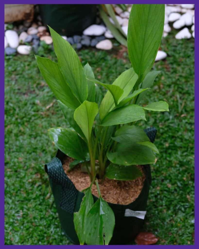 A turmeric plant growing in a green grow bag
