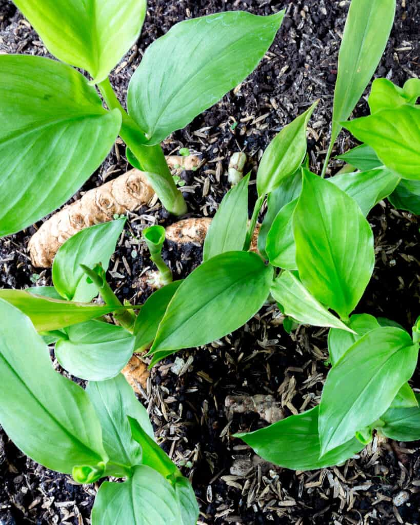 A top down view of young turmeric plants in soil