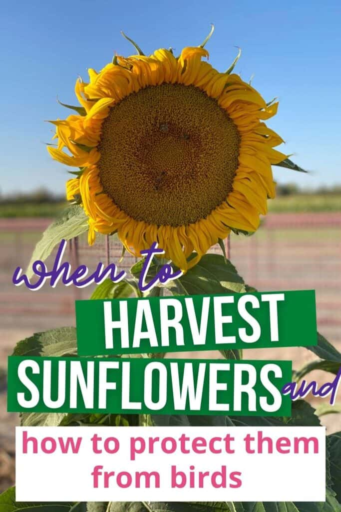 """A photo of a mammoth sunflower in bloom with the overlay """"when to harvest sunflowers and how to protect them from birds"""""""