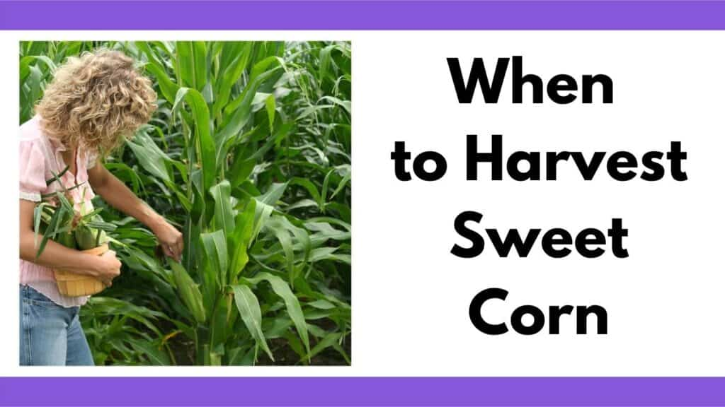 """text """"when to harvest sweet corn"""" next to a picture of a woman picking corn. She is holding a small basket filled with corn."""