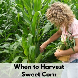 """text overlay """"When to harvest sweet corn"""" on the bottom of a picture of a woman carrying a basket of corn in one arm and picking and ear of corn with her other hand"""