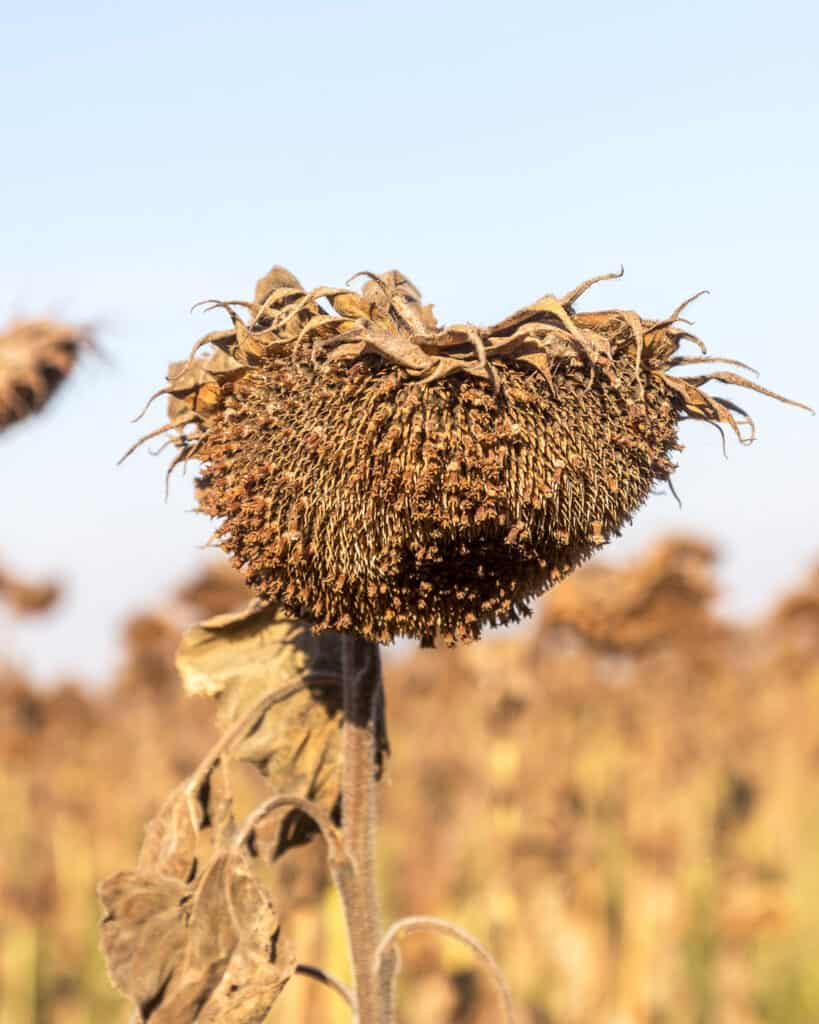 A dry, rotting sunflower plant in a field