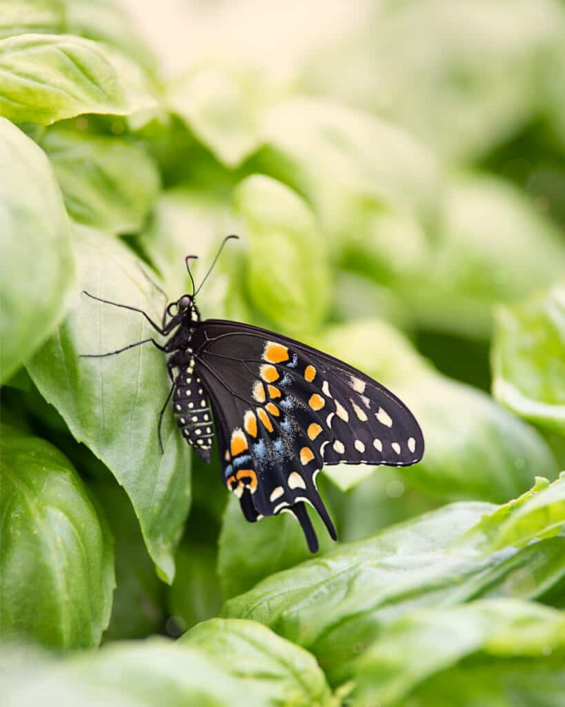 A close up photo of a black swallowtail butterfly resting on a basil plant
