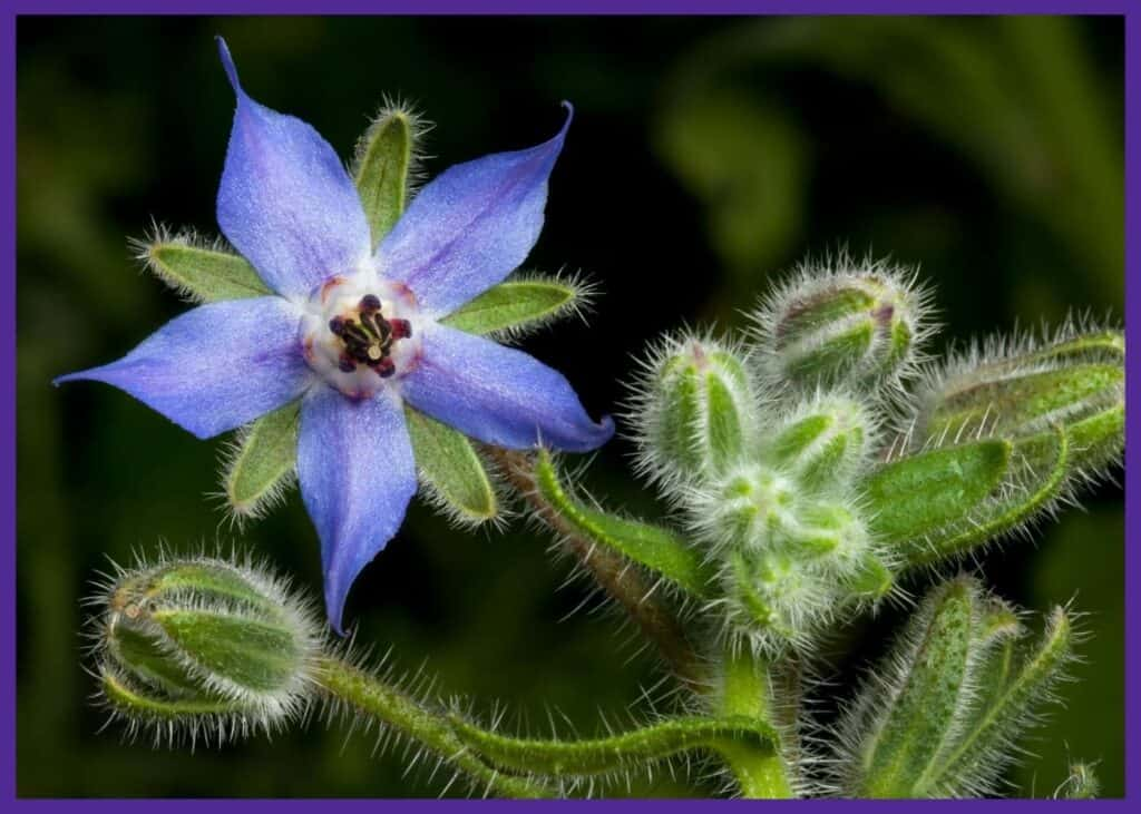 A close up of a borage flower. The stem is covered in fine hairs. The flower is light blue and shaped like a star.