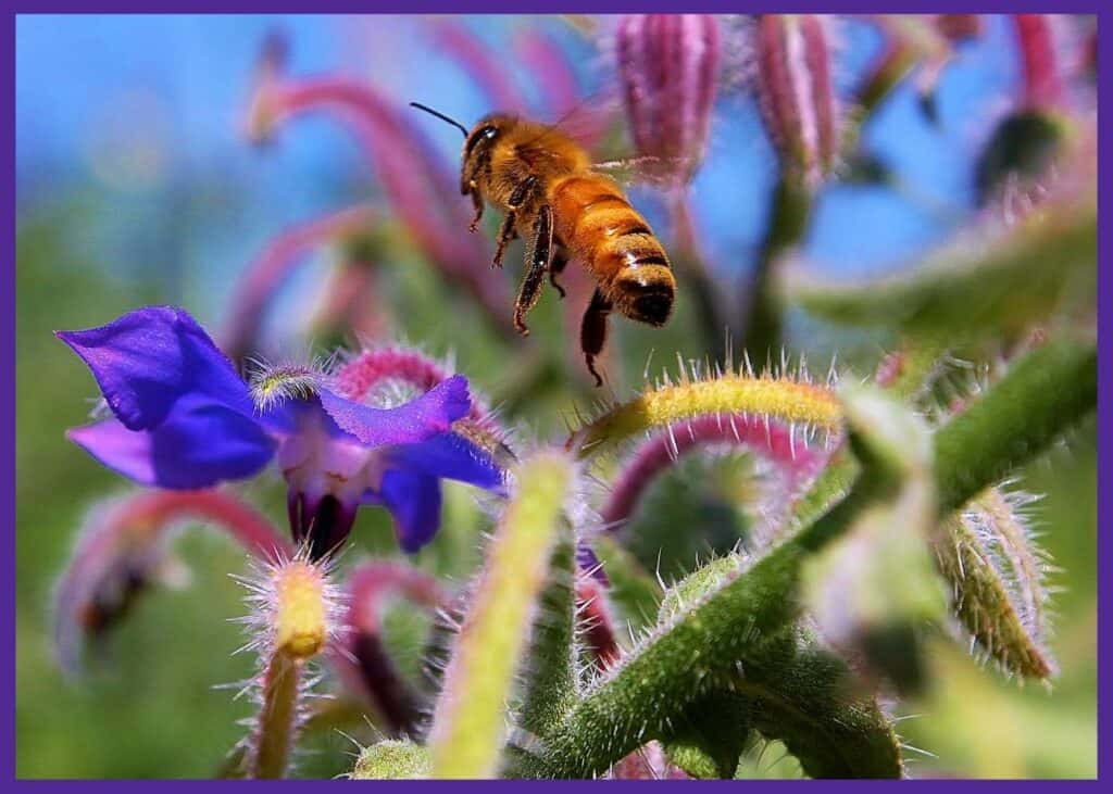 A close up photo of a bee flying near a purple, star-shaped borage flower