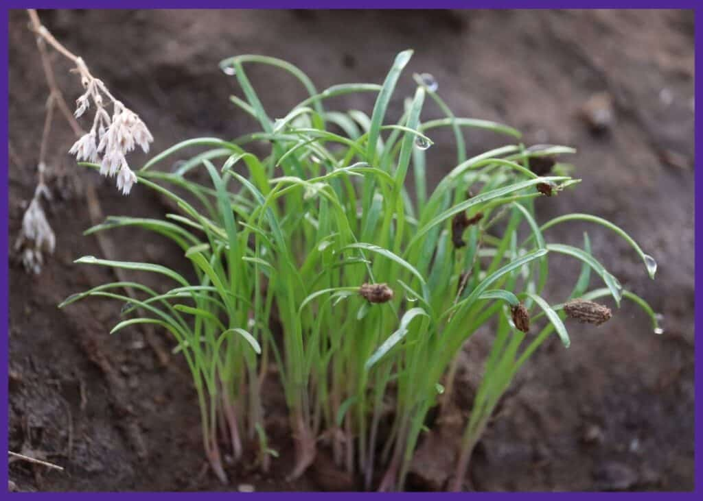 A clump of new fennel seedlings with double pairs of seed leaves.
