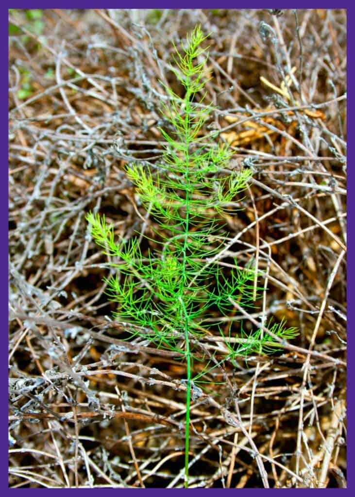 A young fennel seedling with feathery leaves.
