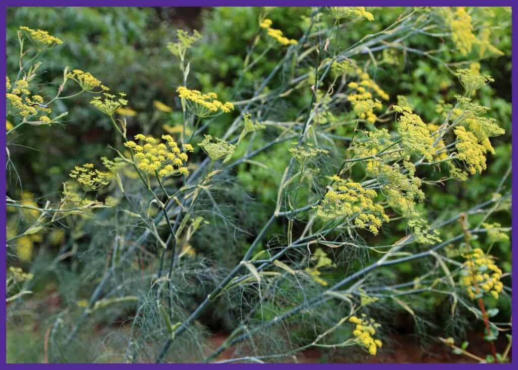 a close up of flowering fennel plants with yellow, umbrella-like flowers
