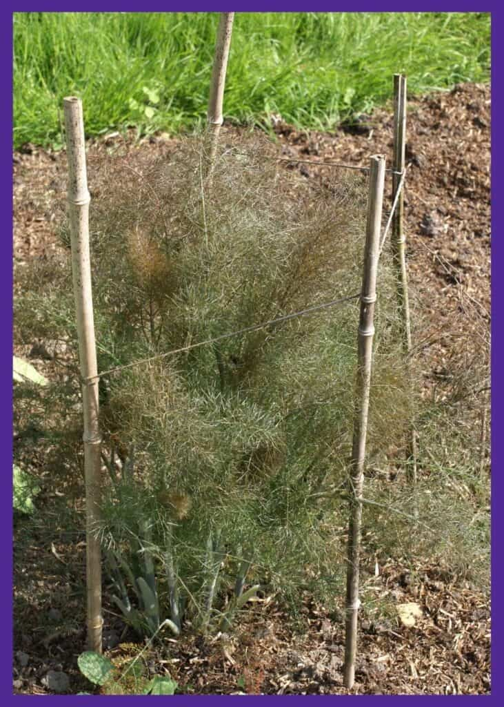 A cluster of large, bronze leafed herb fennel plants. They are bounded by bamboo poles held together with twine to make a fence containing the large fern-like tops