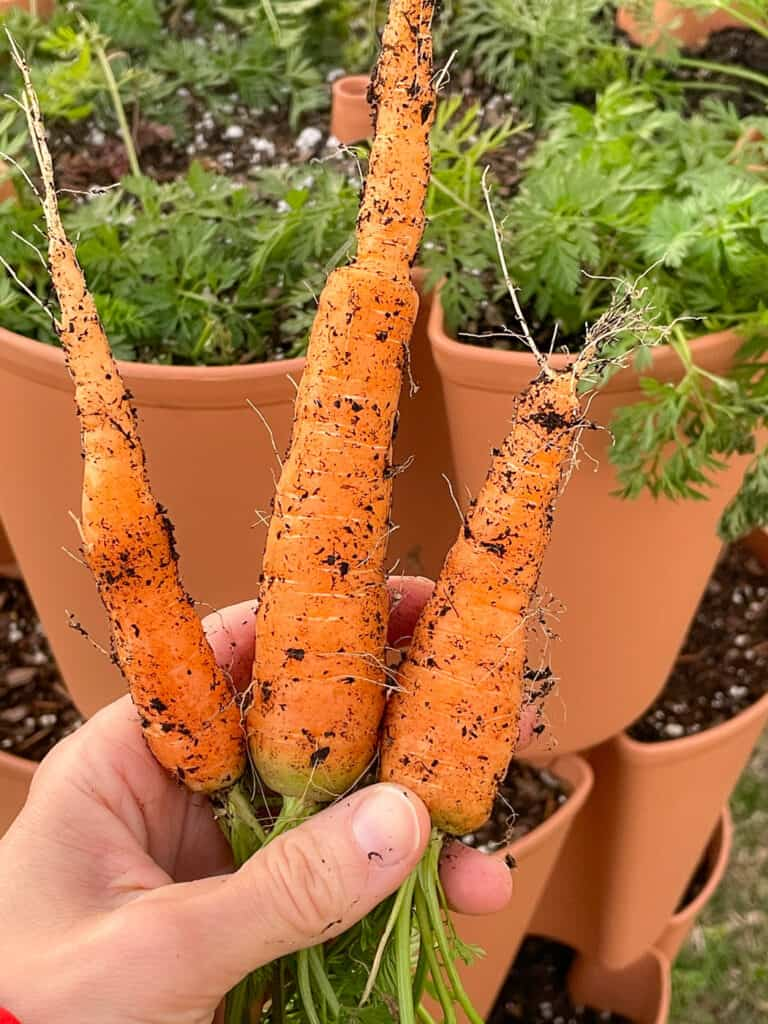 A hand holding three small, freshly picked carrots in front of a vertical growing tower.