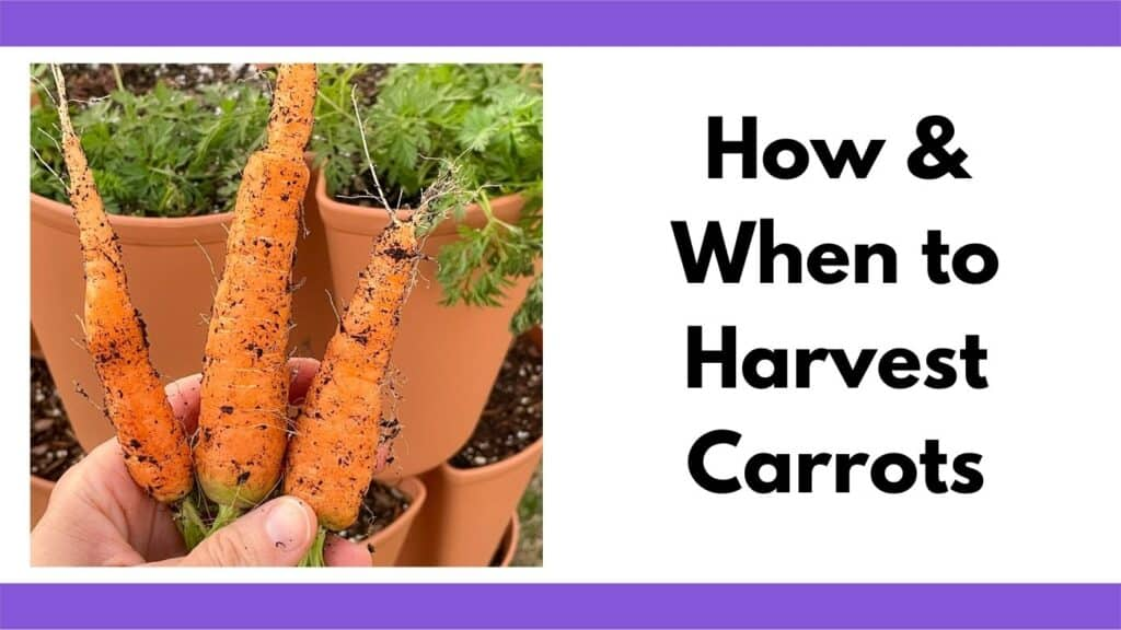 """Text """"how and when to harvest carrots"""" next to an image of a hand holding three freshly harvested carrots in front of a vertical grower."""