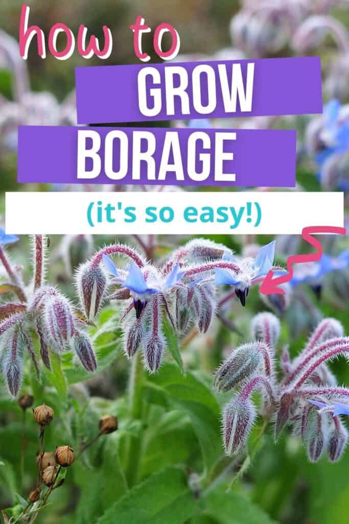 """Text overlay 'how to grow borage (it's so easy!)"""" Over a photo of a flowering borage plant. The flowers are star shaped, hang in clusters, and facing downwards."""