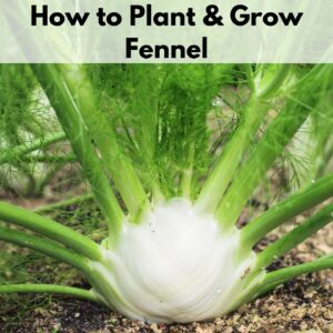"""Text overlay """"how to plant and grow fennel"""" at the top of an up close image of a bulb fennel plant growing in a garden"""