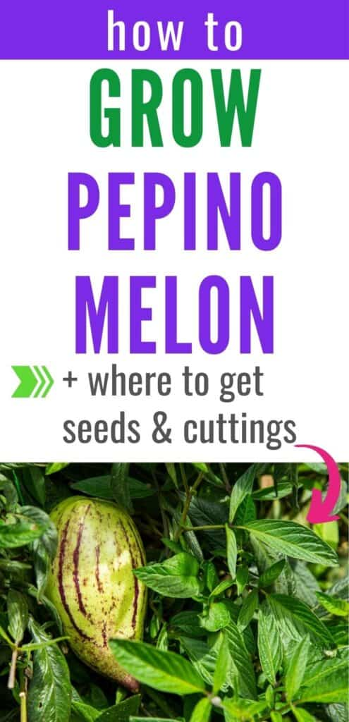 """Text """"how to grow pepino melon and where to get seeds & cuttings"""" above a picture of a growing pepino melon plant. The fruit is greenish yellow with purple stripes."""