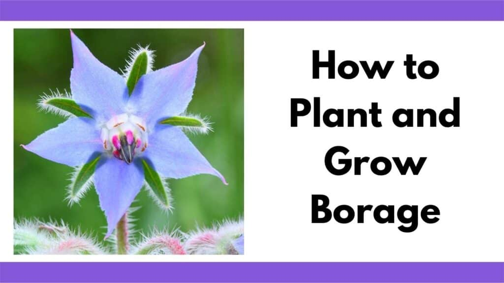"""Text """"how to plant and grow borage"""" next to a close up picture of a blue borage flower that is shaped like a star"""