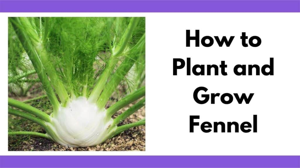 """Text """"How to plant and grow fennel"""" next to a close up image of a fennel bulb growing in a garden."""