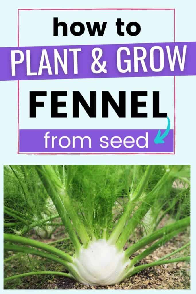 """Text """"how to plant and grow fennel from seed"""" above a close up photo of a bulb fennel plant growing in a garden"""