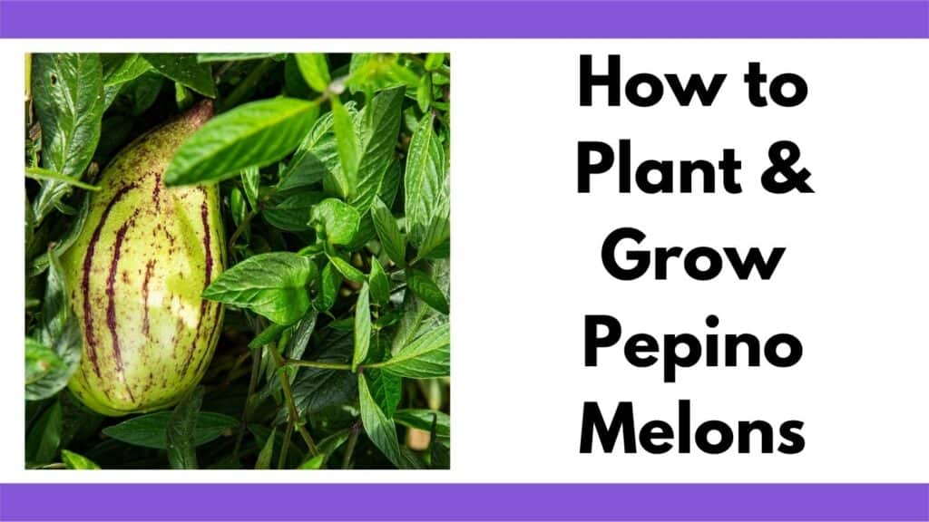 """Text """"How to plant and grow pepino melons"""" next to an image of a yellow and purple pepino melon on a vine."""