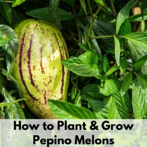 """Text overlay """"how to plant and grow pepino melons"""" over a ripe pepino melon growing on a plant."""