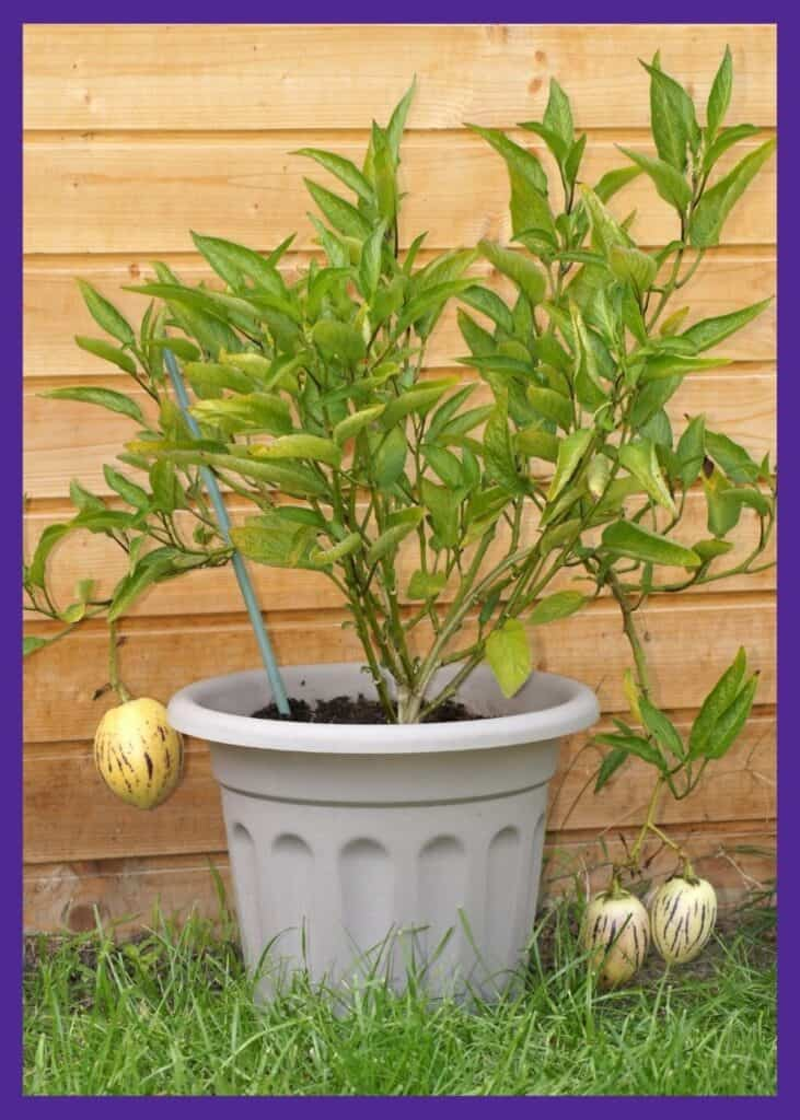 A pepino melon plant growing in a tan container. It is tied to a green fiberglass stake and has three ripe fruits with yellow flesh and purple stripes.