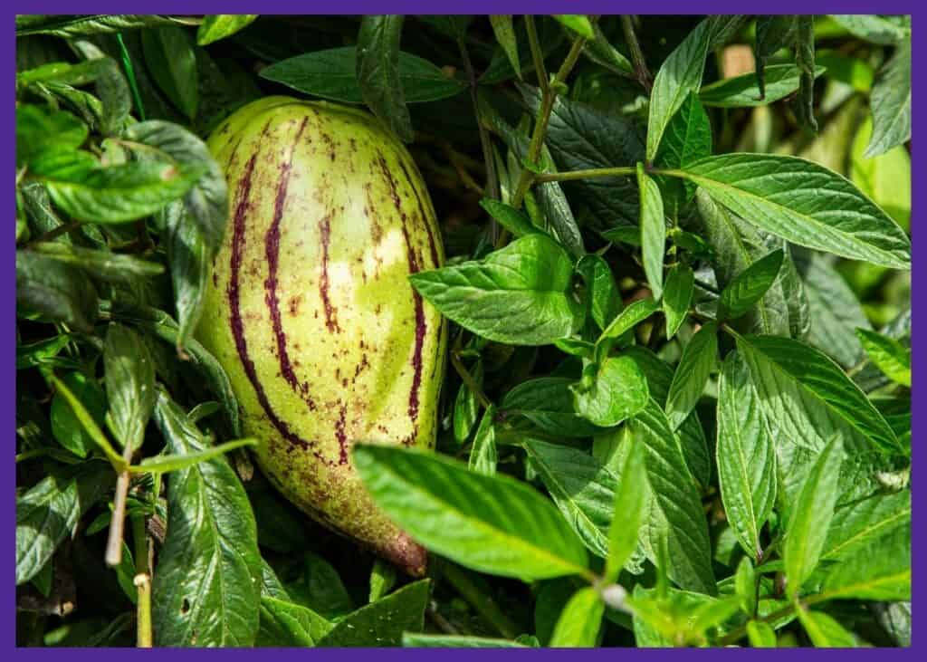 A mostly ripe pepino melon growing on a vine. The fruit is greenish yellow with purple stripes.