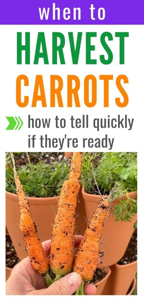 """Text """"when to harvest carrots - hot to tell quickly if they're ready"""" above an image of a hand holding three freshly harvested carrots."""