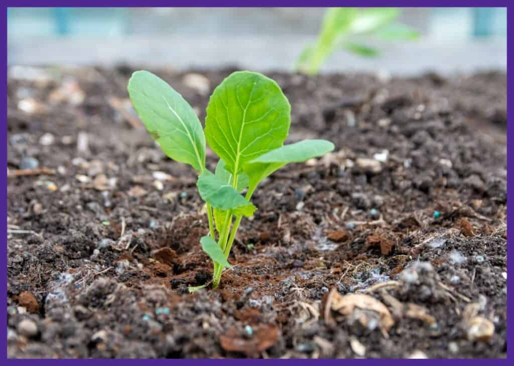 A close up of a young Brussels sprout seedling in the soil