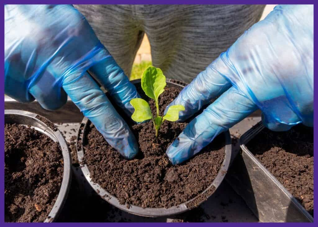 """A person's hands in blue gloves transplanting a Brussels sprouts seedling into a 3"""" round pot."""